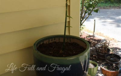 How to Grow Your Very Own Ginger Plant - Life Full and Frugal