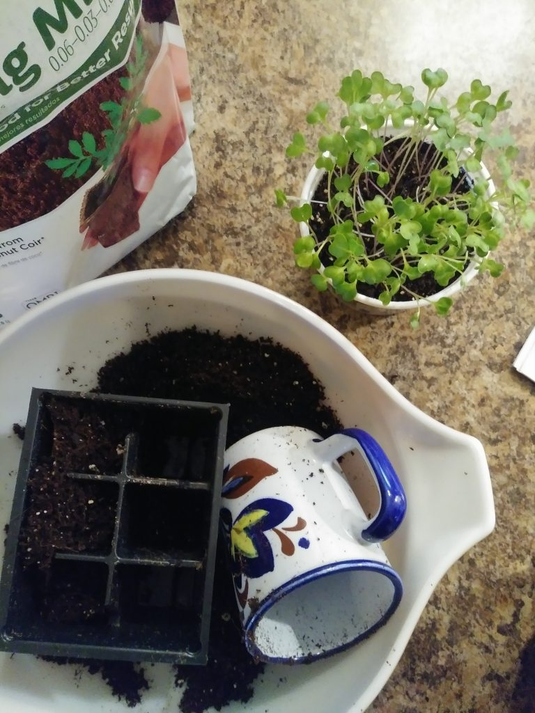 How to transplant seedlings cabbage seedlings life full and frugal