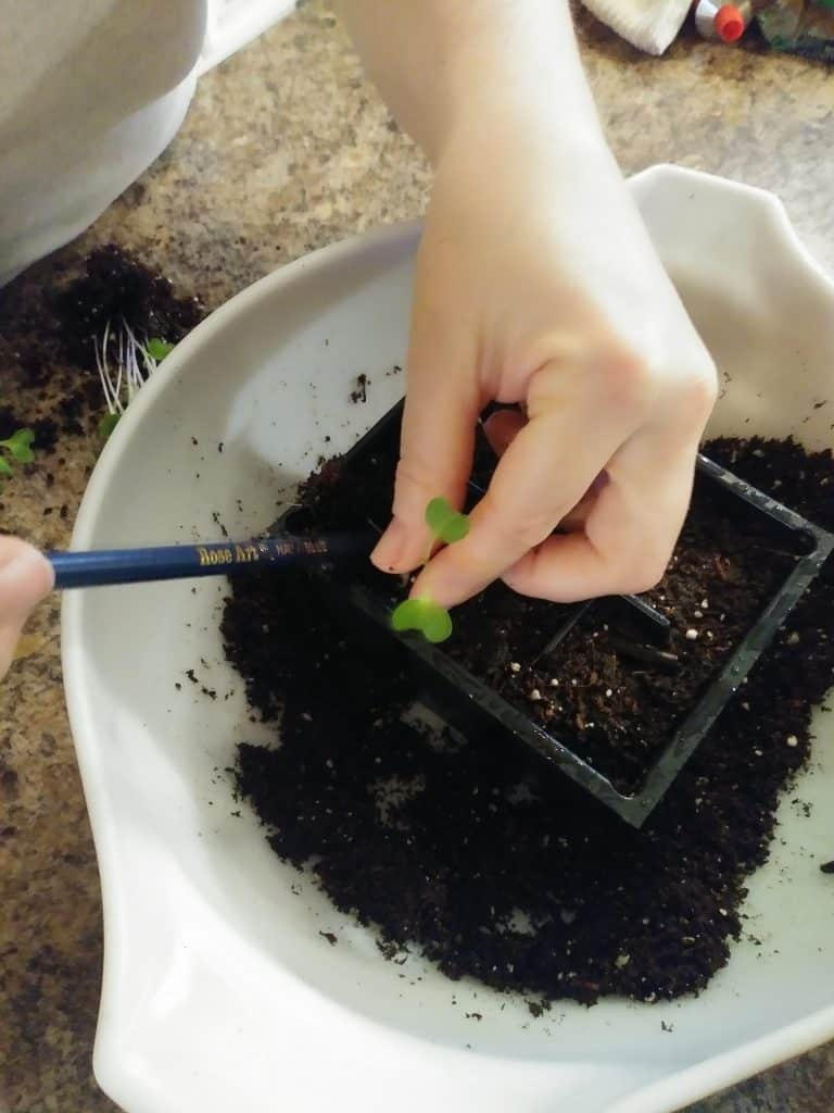 How to transplant seedlings cabbage seedling with pencil life full and frugal