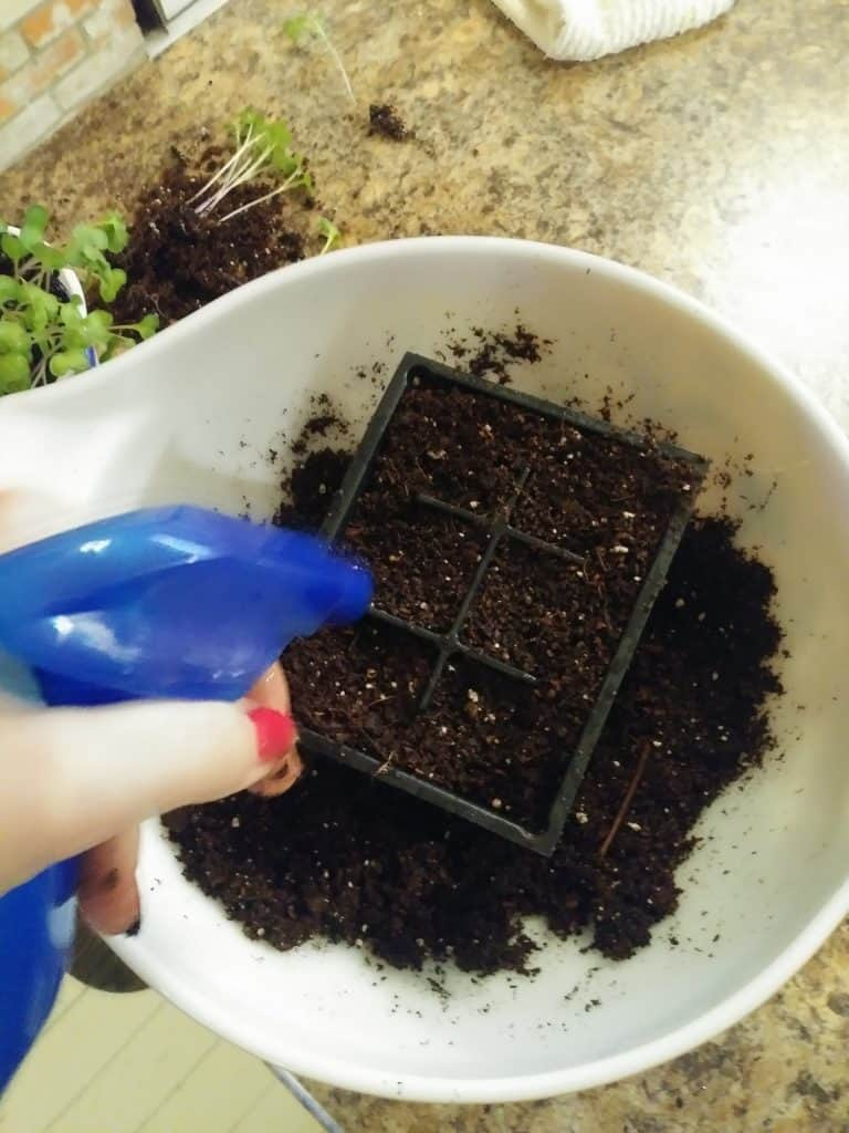 how to transplant seedlings spray soil with water life full and frugal