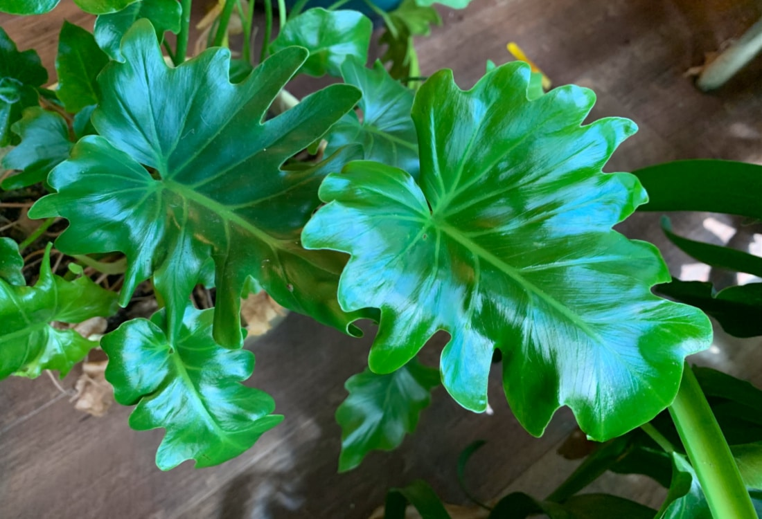 a glossy green philodendron how to multiply houseplants for free