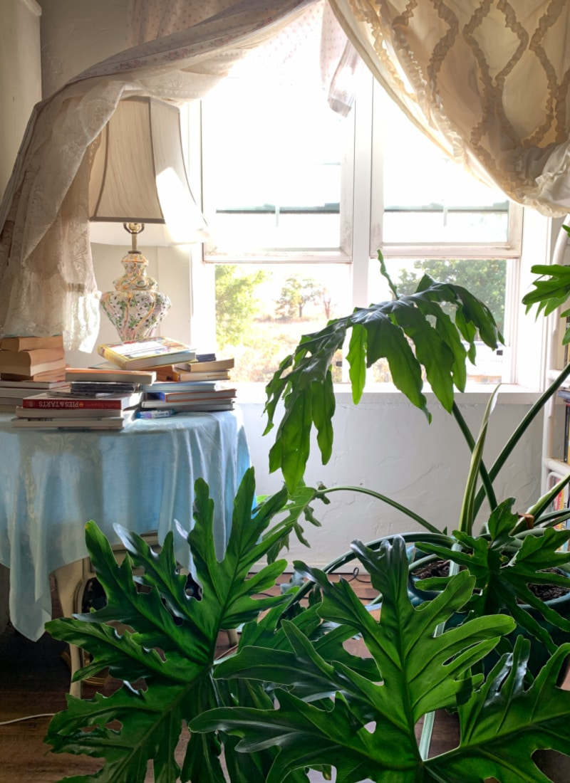 a huge house plant in front of a bright south facing window hygge home