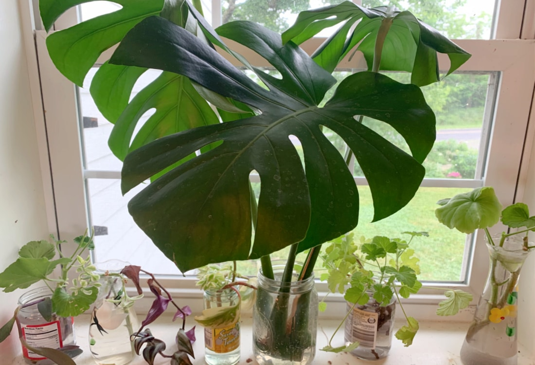 rooting houseplants in jars of water how to start houseplants for free