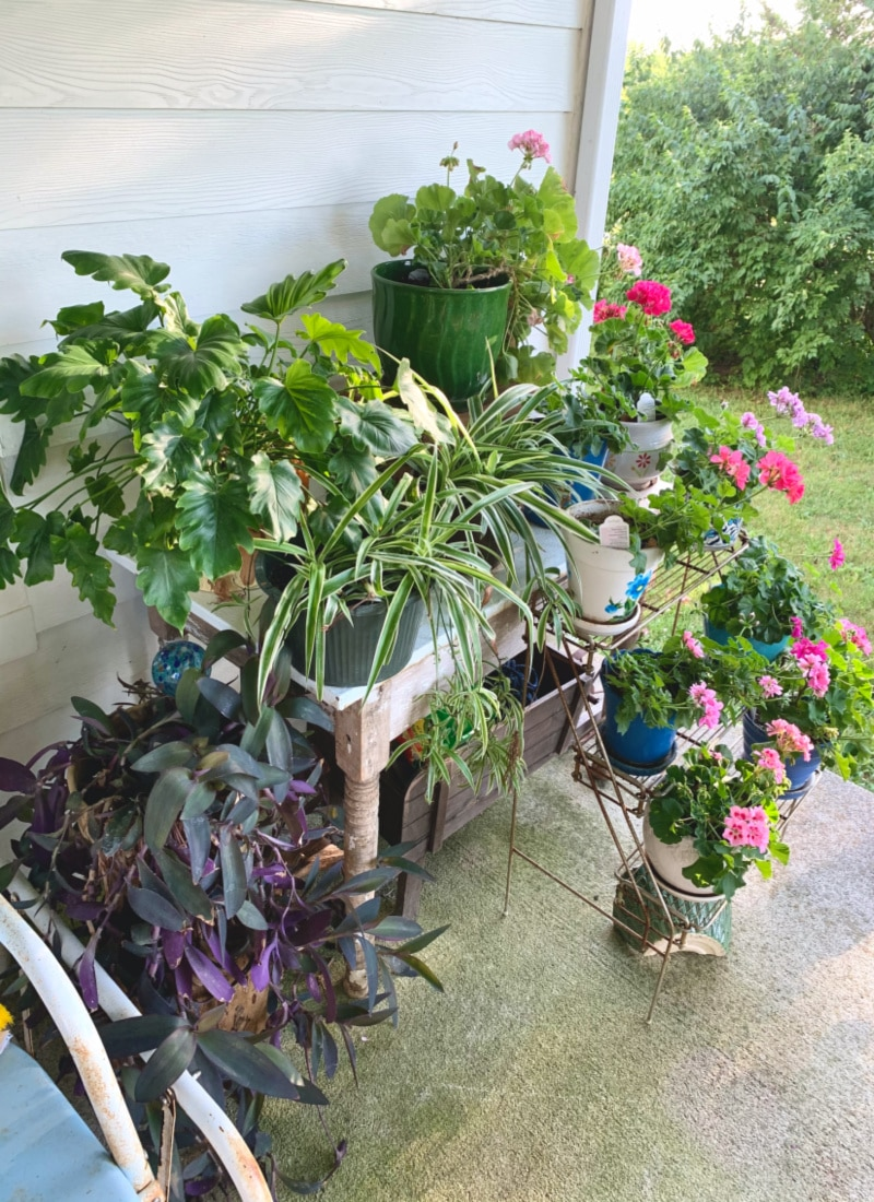 a large mass of houseplants on a porch purple queen spider plants and geraniums
