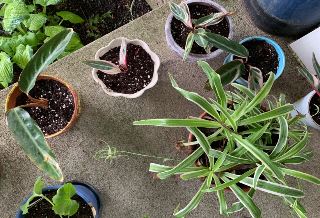 newly potted spier plants and prayer plants life full and frugal