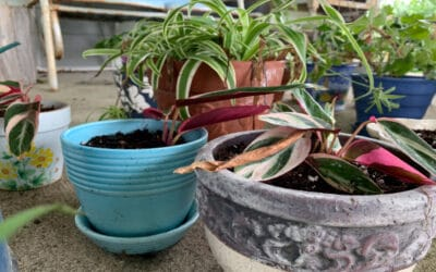 How to Multiply Houseplants for Free