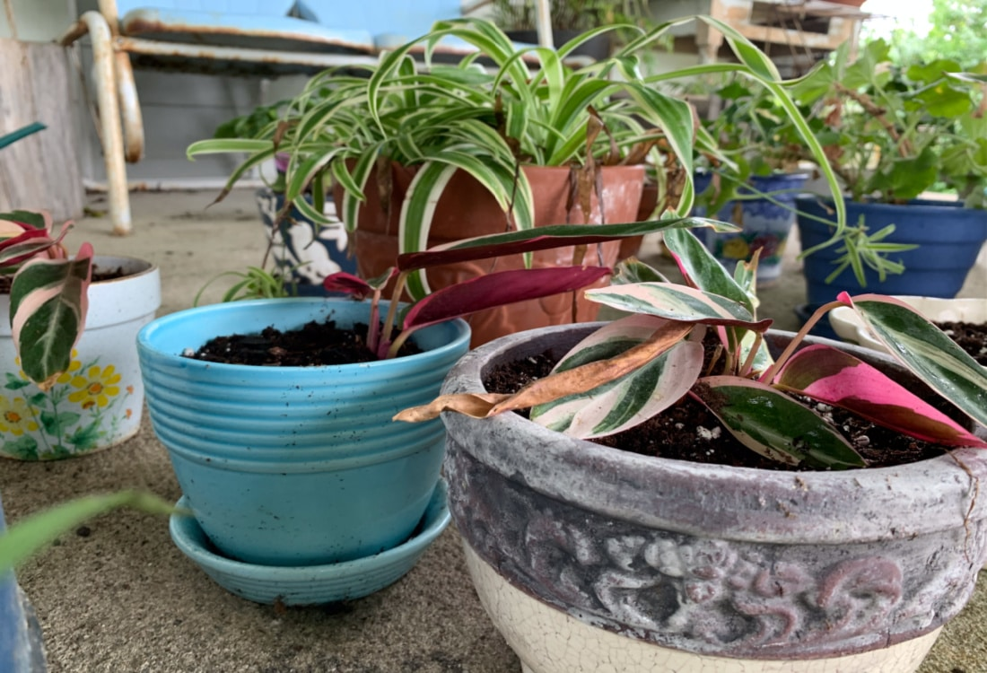 newly transplanted houseplants prayer plant and spider plant life full and frugal
