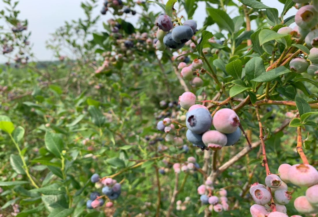 blueberry bushes with ripe blueberries frugal lifestyle hacks
