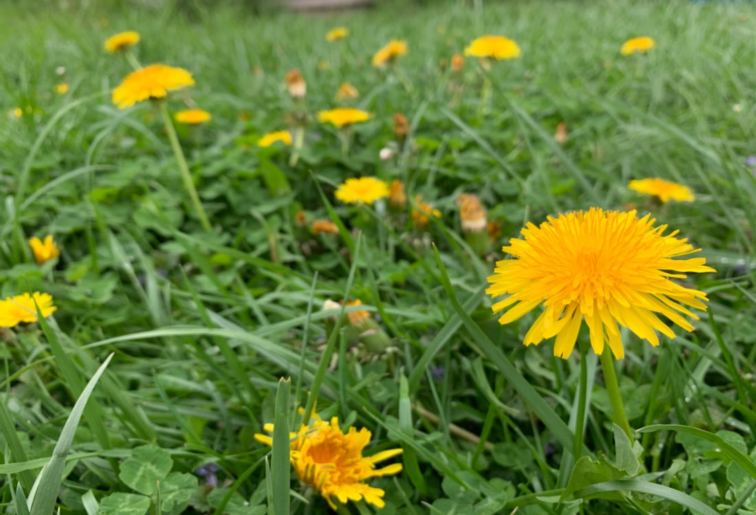 dandelion life full and frugal