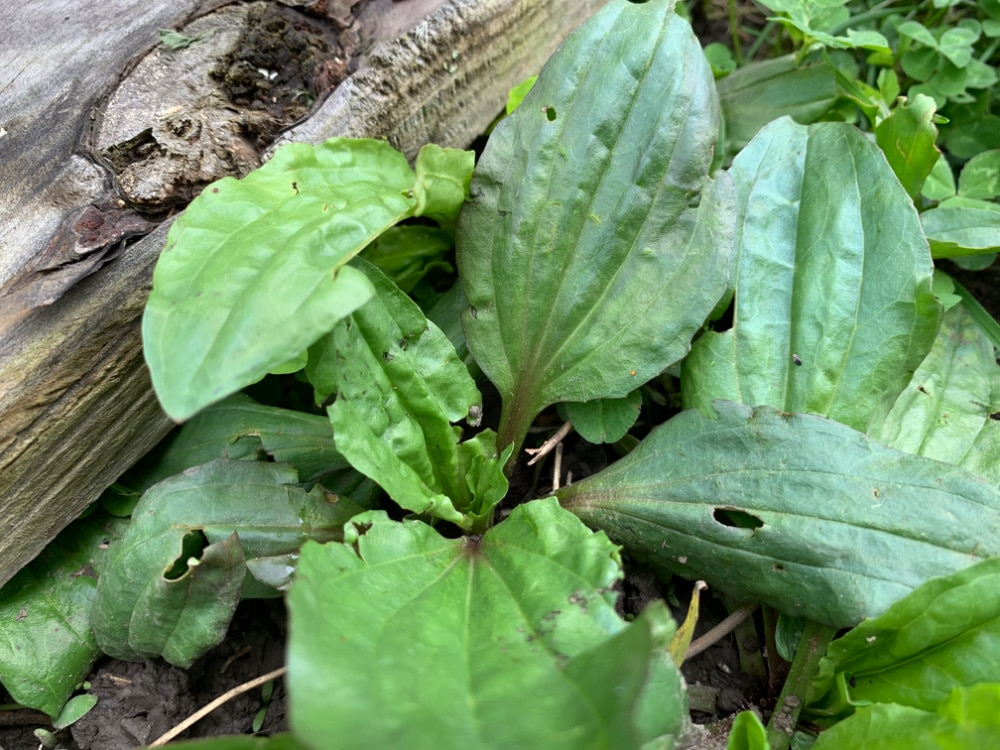 foraged plantain life full and frugal
