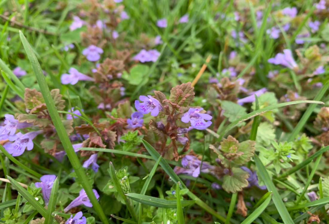 ground ivy life full and frugal