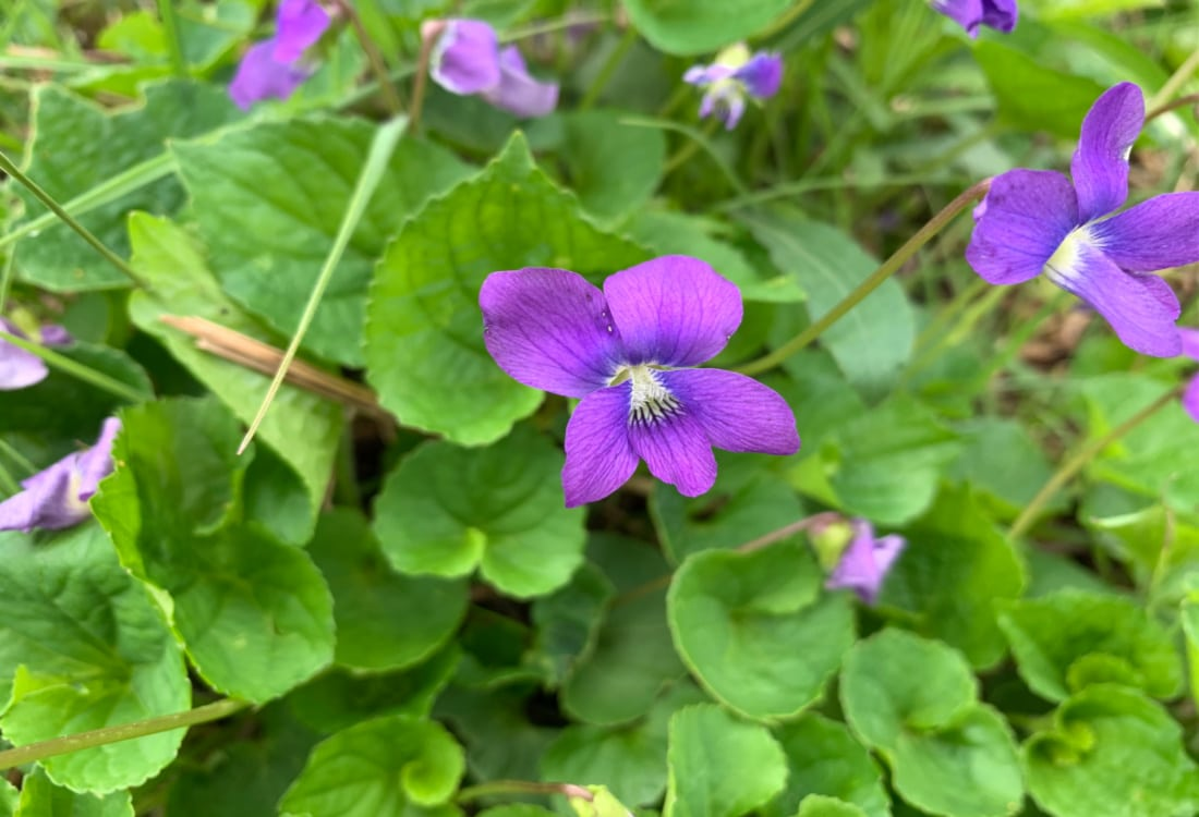 violet life full and frugal