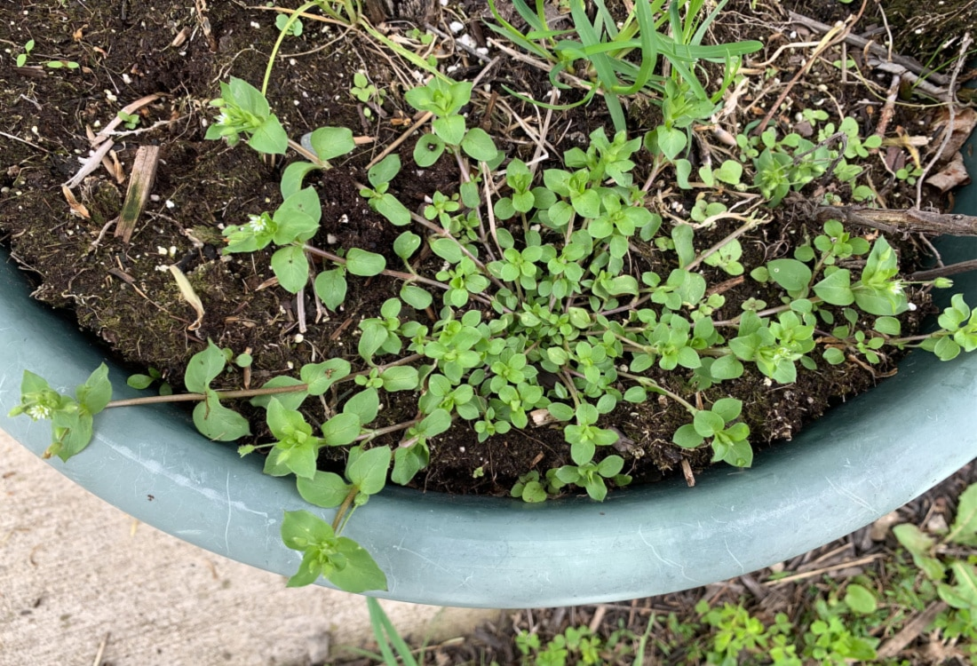 wild chickweed life full and frugal